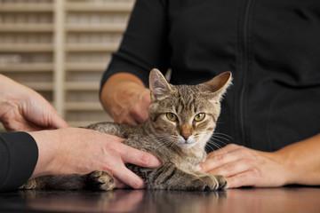 beim Tierarzt - Katze auf Behandlungstisch