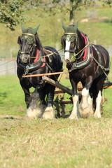Zwei Arbeitspferde
