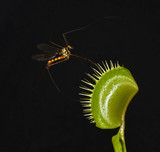 giant mosquito entrap in leaf of carnivorous plant dionaea poster