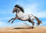 Fototapety Appaloosa horse play in summer