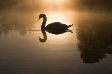 Mute Swan (Cygnus olor) gazing at its reflection