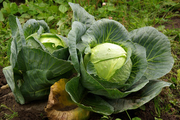 two ripe cabbages