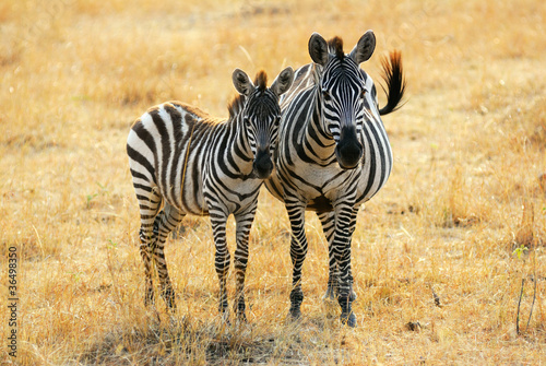 Foto op Canvas Zebra Zebra with foal