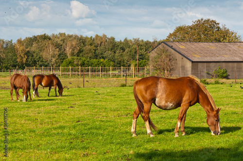 Grazing horses and an old barn