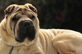 Pure-bred Shar Pei dog poster