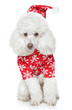 White toy poodle in christmas hat