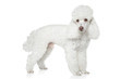 White Toy poodle on white background
