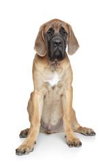 English mastiff pup on white background
