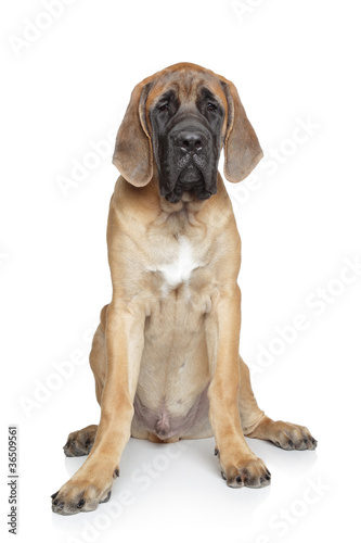 English mastiff pup on white background