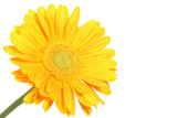 Yellow daisy flower isolated on white