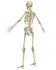 Human Skeleton Anatomy Angled Rear View
