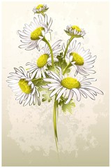 Greeting card with a camomile.