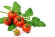 5 frisch geerntete Tomaten mit Zweig
