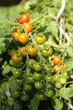 Tomatenstamm mit reifenden Tomaten