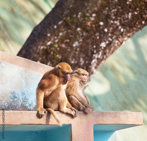 Foto op Canvas Aap Monkey
