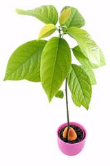 Avocado plant isolated on white background