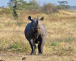 Africa Big Five: Black Rhinoceros