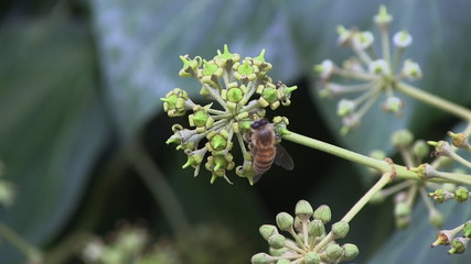 Macro shot of bee pollinating a flower, fly comes into picture.