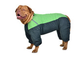 Dog dressed with green raincoat