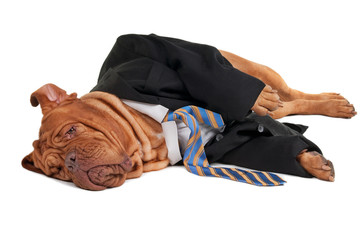 Tired businessman dog