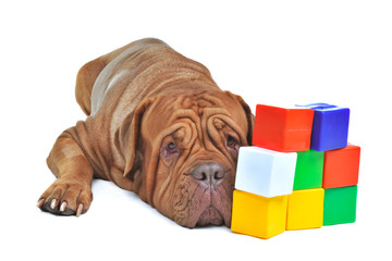 Dog with colorful cube bricks
