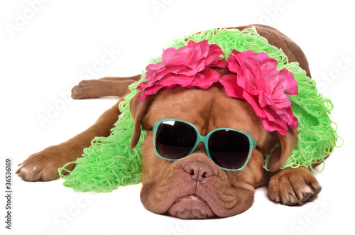 Lady dog wearing glasses and boa