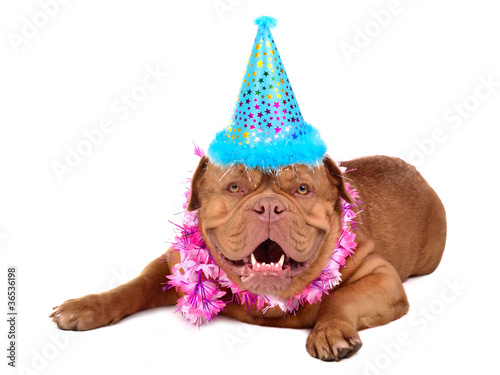 French Mastiff puppy with party cone