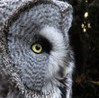 portrait of Grate grey owl