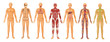 Human Body Systems - 36541960