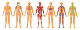 Fototapety Human Body Systems