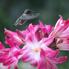 pink lilies with hummingbird close up