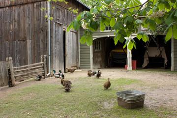 Farm backyard with fowl