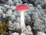 Beautiful red agaric closeup in the meadow