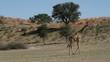 Giraffe walking in dry riverbed, Kalahari desert, South Africa