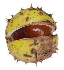 half opened horse chestnut