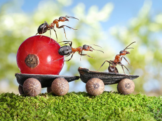 ants deliver red currant with trailer of sunflower seeds