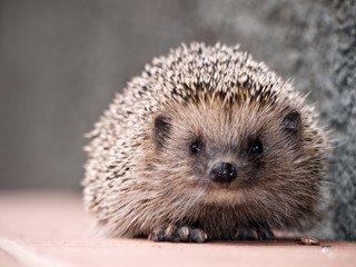 Hedgehog face