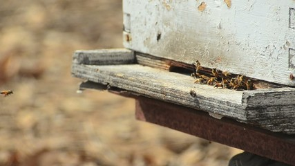 Bees fly in and out of their beehive