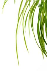 Blätter der Grünlilie