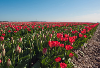 Red flowers in a field
