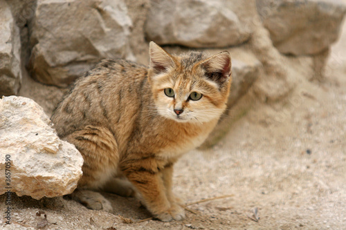 Canvas Luipaard Chat des sables, chat d'Arabie