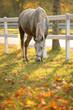 Lipizzan horse grazing