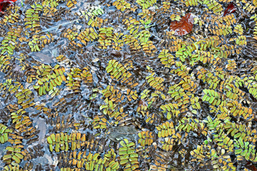 Salvinia natans, an aquatic , floating fern