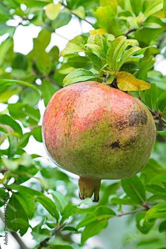 Pomegranate, ripening on the tree