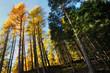 Yellow and green trees, Italian Alps
