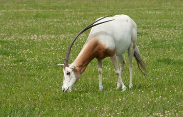 Scimitar-Horned Oryx, endangered species