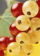 Red  and yellow currant