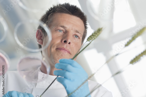 Scientist examining wheat stalks