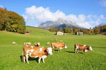 Kuhweide in den Bayerischen Alpen