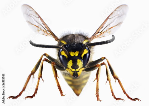 Close up of wasp